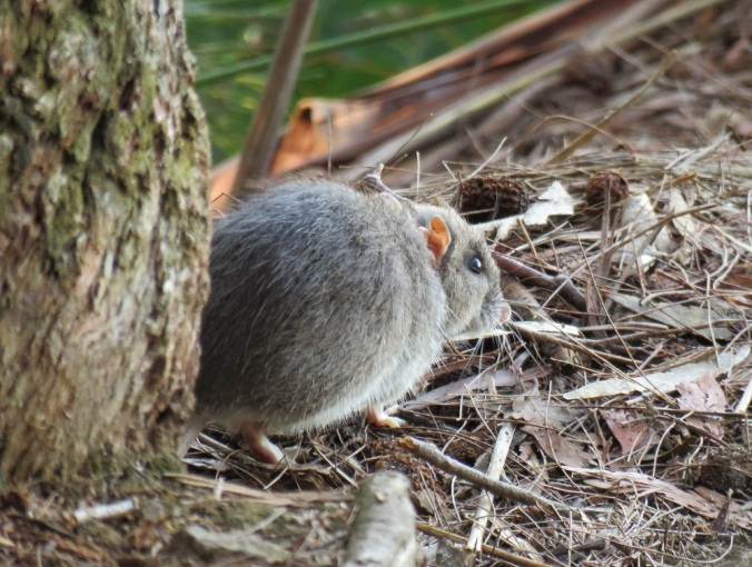 rat-binna-burra-lamington-national-park