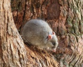 rat-in-tree-binna-burra-lamington-national-park