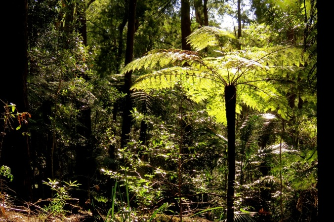 tree-ferns-daves-creek-circuit-2