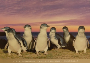 phillip-island-penguins