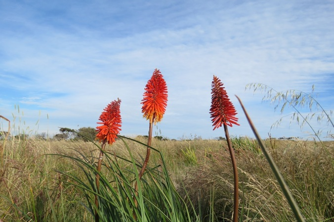 Torch lily Phillip Island