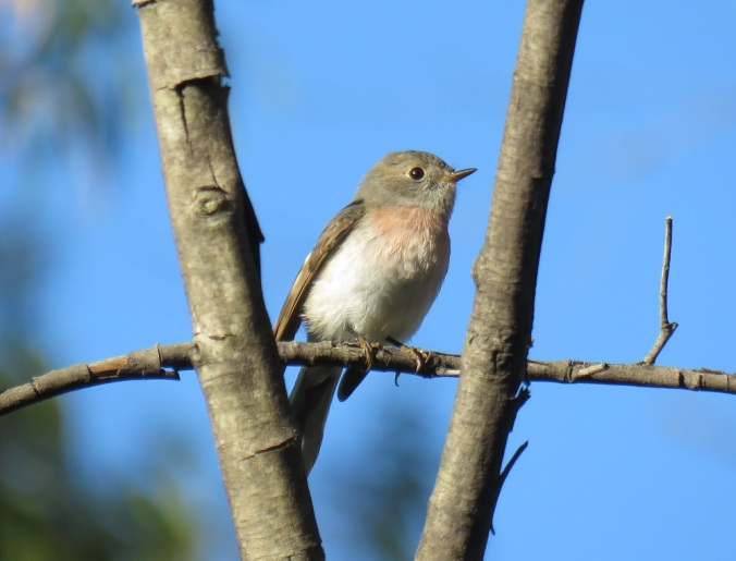 Female rose robin