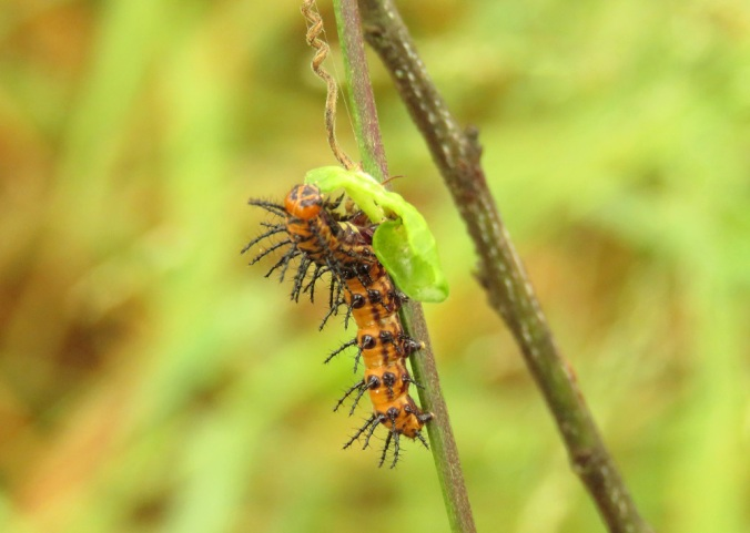 Glasswing caterpillar
