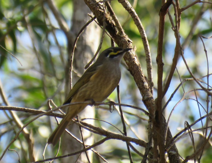 Lewins Honeyeater White Rock
