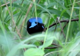 variegated fairy-wren white rock 3
