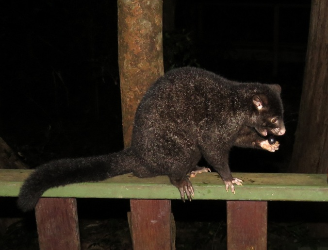 black possum