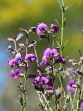 Girraween purple flowers