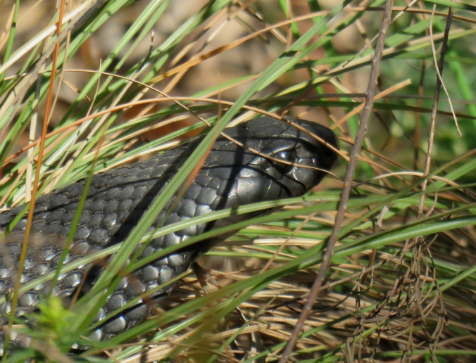 Girraween red bellied black snake