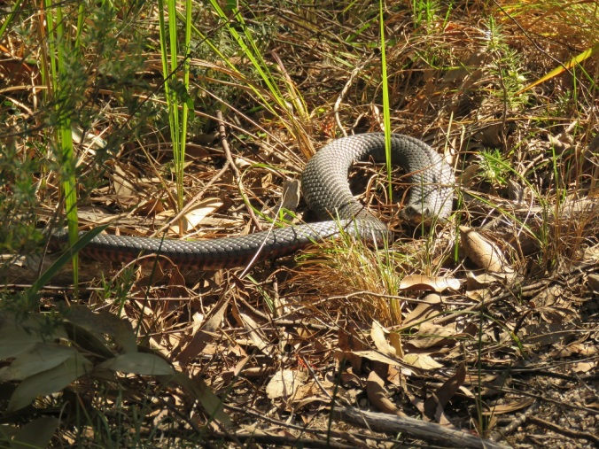 Girraween red-bellied black snake