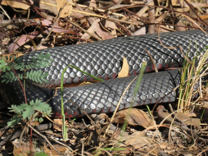 girraween red bellied black snake 9