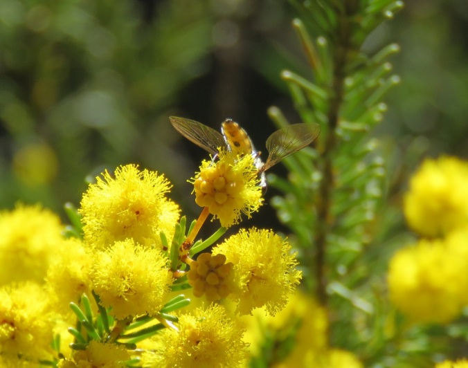 Girraween wattle and bee
