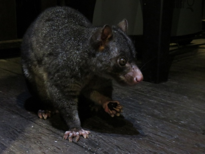 mountain brush possum