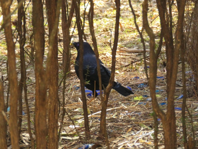 Satin Bower bird in bower