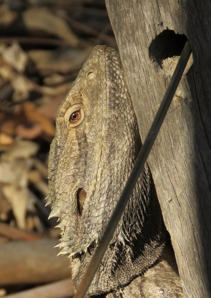 Bearded dragon Goomburra