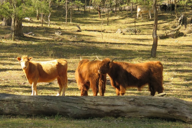 cattle Goomburra