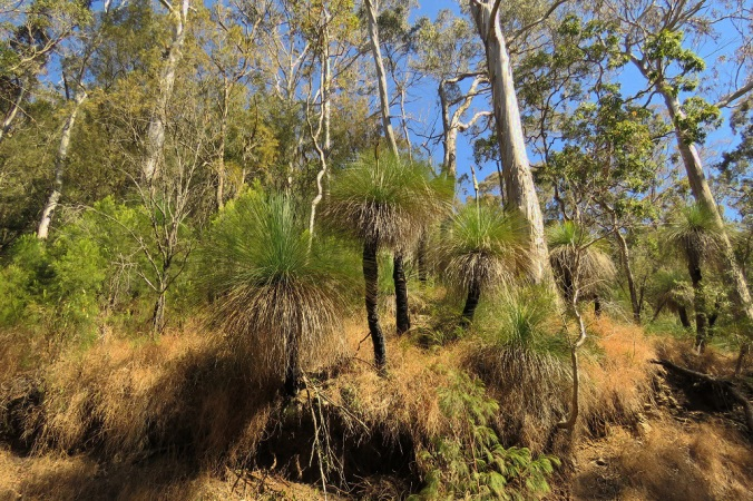 Goomburra grass trees
