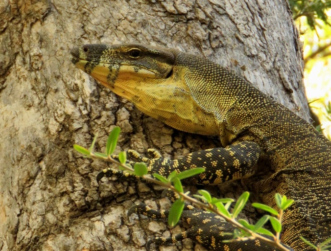 Lace Monitor Goomburra