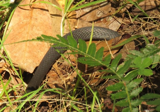 Marsh snake Goomburra