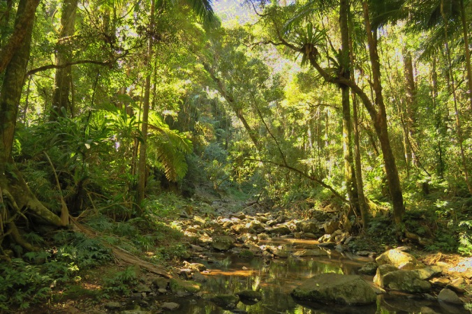 Rainforest Goomburra