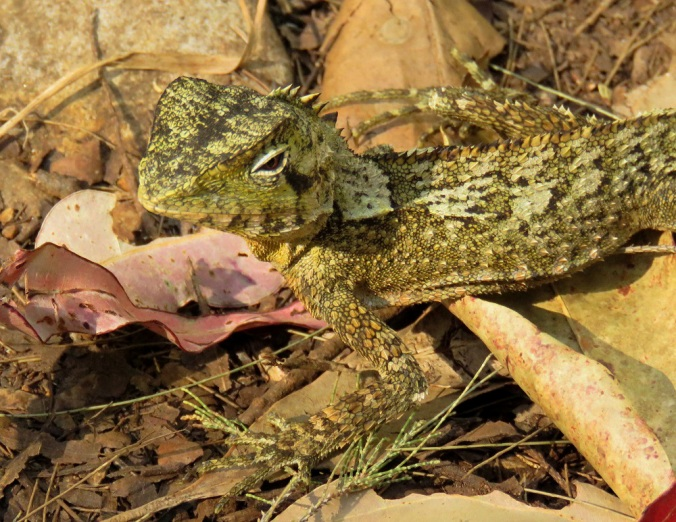 southern angle-headed dragon Goomburra