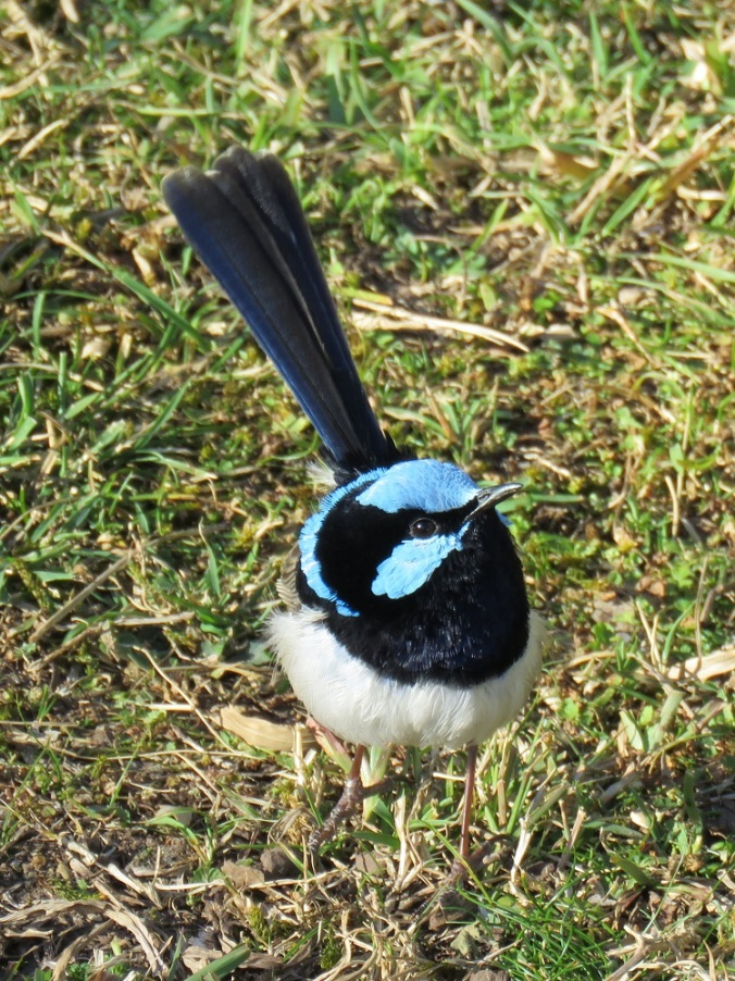 Superb Fairy Wren Goomburra