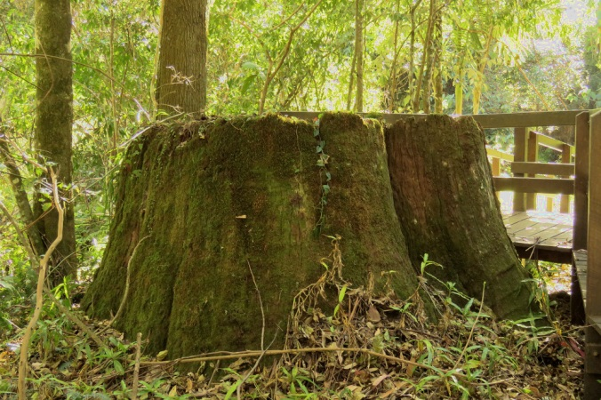 Tree stump Goomburra