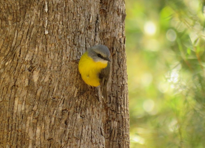 yellow eastern robin goomburra