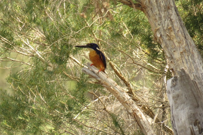 Kingfisher Sundown National Park
