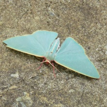 Sundown National Park moth