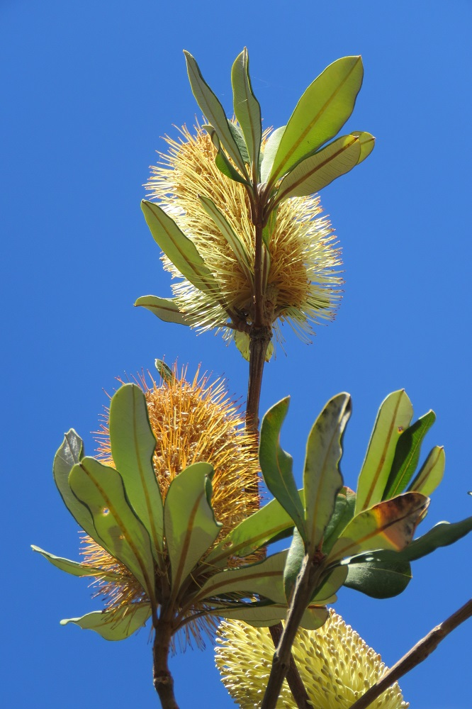 Red Rock Banksia