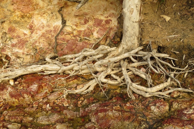 Red Rock Tree Root