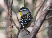 Spotted Pardalote Main Range National Park