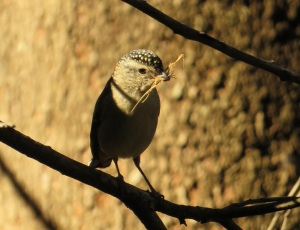 Spotted Pardalote Nesting Material Main Range