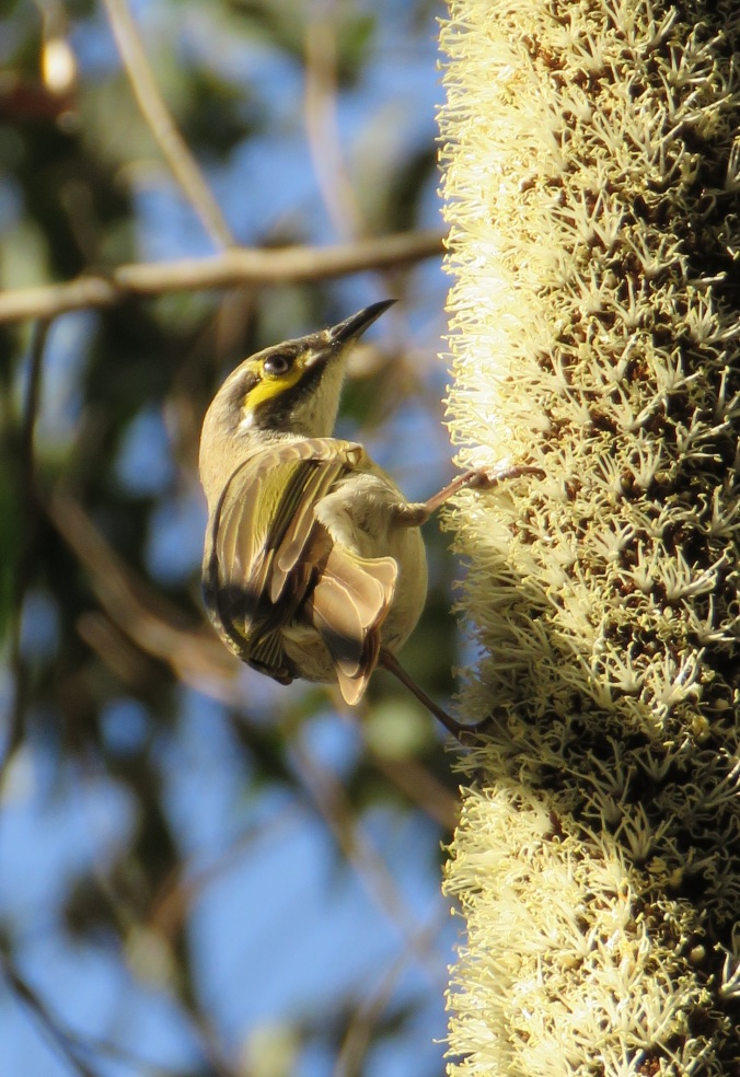 Yellow faced honey-eater Main Range