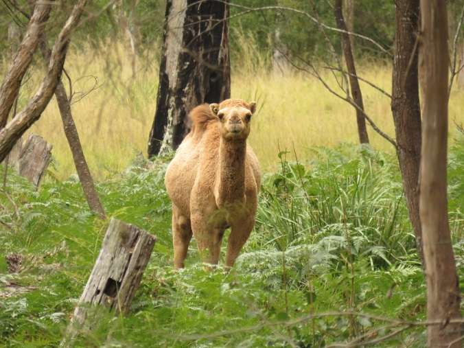 camel at crows nest national park