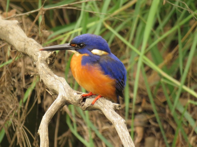 Crows Nest Azure kingfisher
