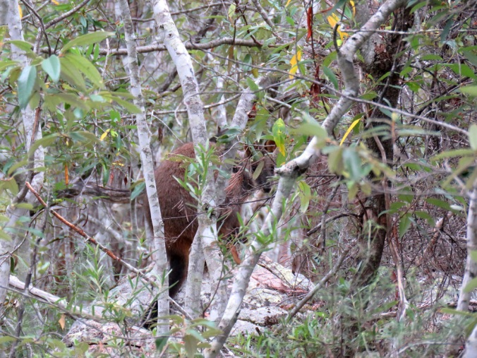 Crows Nest Brush Tailed Rock Wallaby