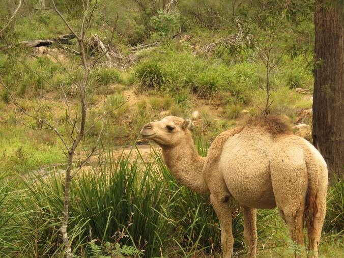 Crows Nest camel