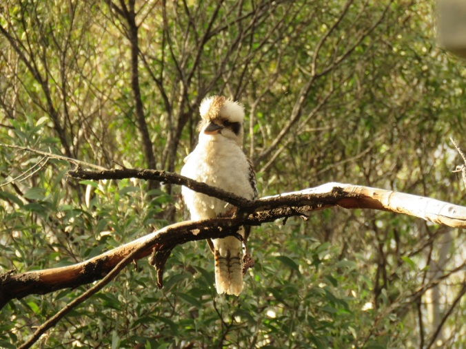 Crows Nest kookaburra