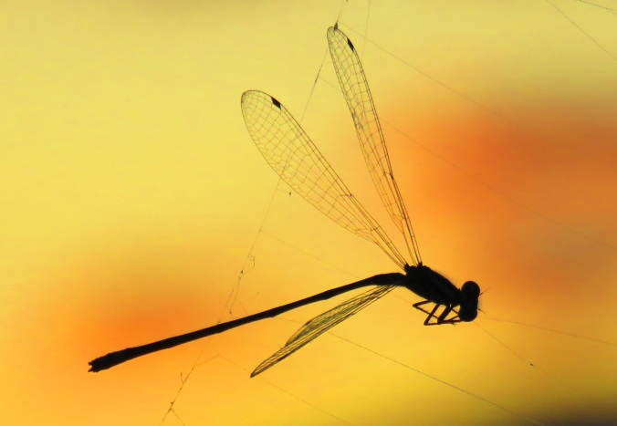 Dragonfly in web