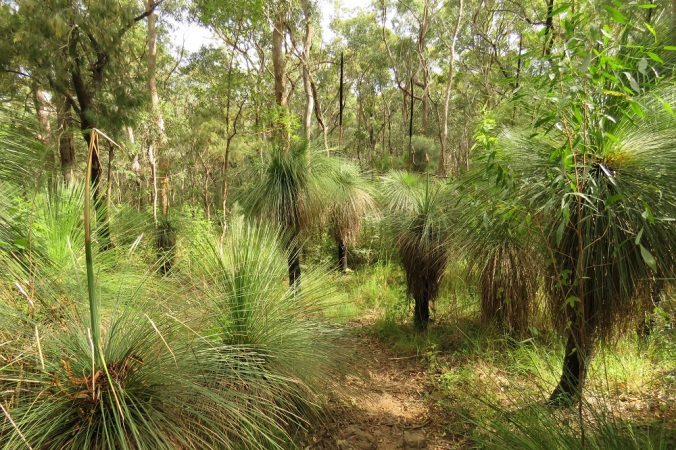 grass trees Mt Edward
