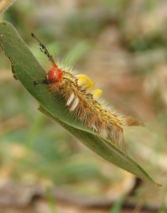 Orgyia australis (white spotted tussock moth)