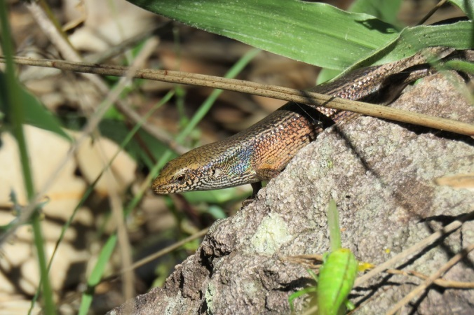 Robust rainbow skink