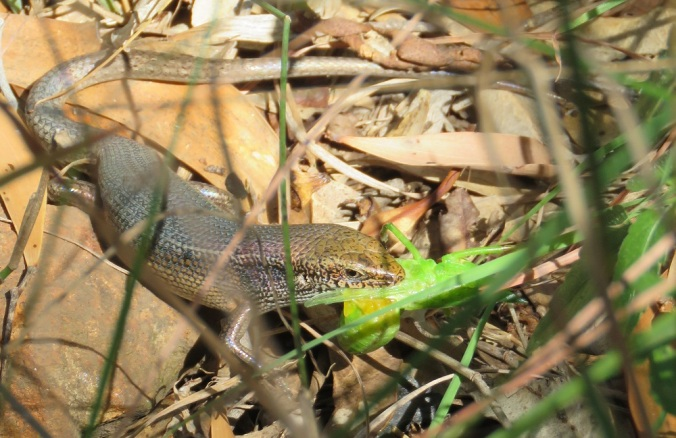 Robust rainbow skink eating