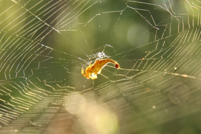 Scorpion tailed spider in web
