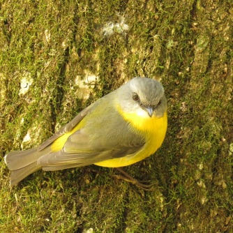Ravensbourne eastern yellow robin 2