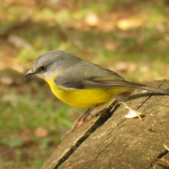 Ravensbourne eastern yellow robin 3