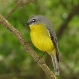 Ravensbourne eastern yellow robin 7