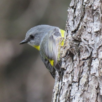 Ravensbourne eastern yellow robin 9