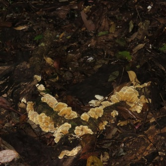 Ravensbourne group fungi